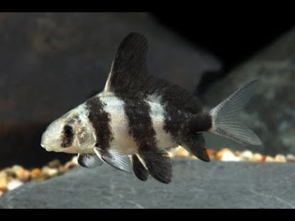 Myxocyprinus asiaticus – Chinese High-Fin Banded Shark