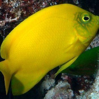 Centropyge heraldi M – Yellow Angelfish