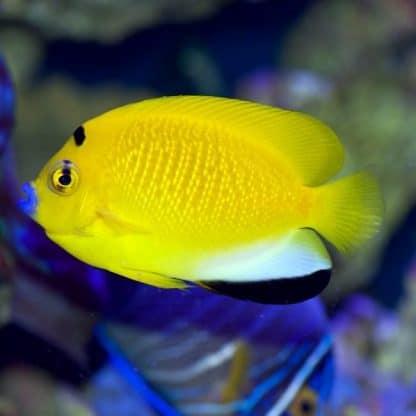 Apolemichthys Trimaculatus m