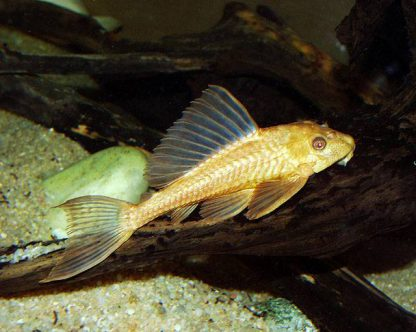 Hypostomus plecostomus albino