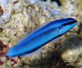 Pseudochromis indigo dottyback