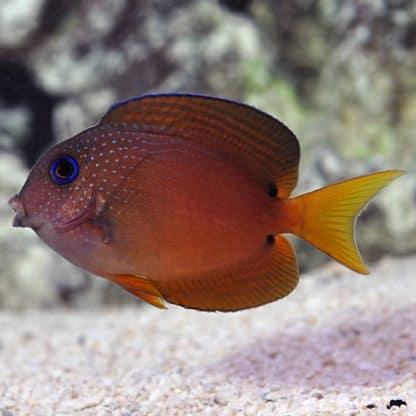 Ctenochaetus Binotatus