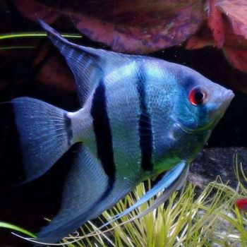 Pterophyllum scalare blue common