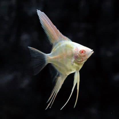 Pterophyllum scalare –  Dantum Albino Angelfish
