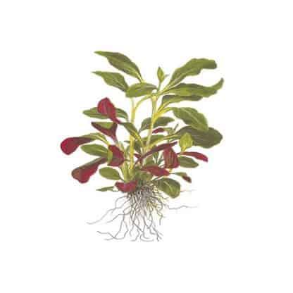 Tropica Lobelia Cardinalis Mini Pot