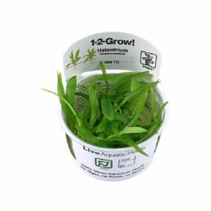 Helanthium quadricostatus 1-2 grow