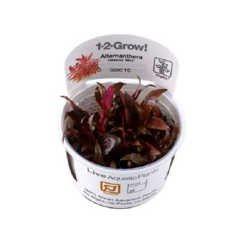 Alternanthera reineckii mini 1-2 grow