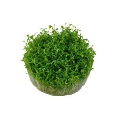 Elatine hydropiper 1-2 grow