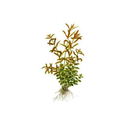 Tropica Rotala Rotundifolia Mini Pot In Single Package