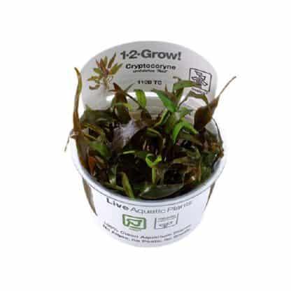 Tropica Cryptocoryne Undulatus Red 1-2 Grow