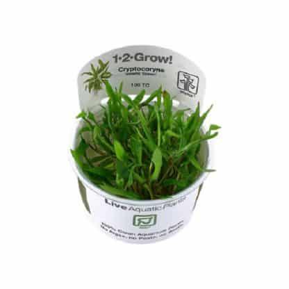 Cryptocoryne Wendtii Green 1-2 Grow