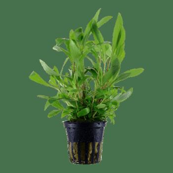 Tropica Hygrophila 'Siamensis 53B' Potted