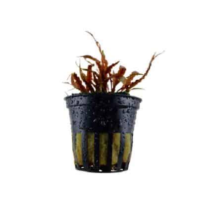 Tropica Cryptocoryne albida 'Brown'