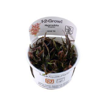 """Hygrophila """"Araguaia"""" 1-2 Grow"""