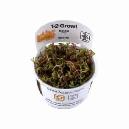 Rotala 'Vietnam H'Ra' 1-2 Grow