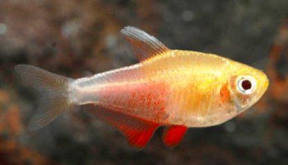Hyphessobrycon Flammeus Orange