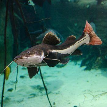 Phractocephalus hemioliopterus – Redtail Catfish 12-15CM