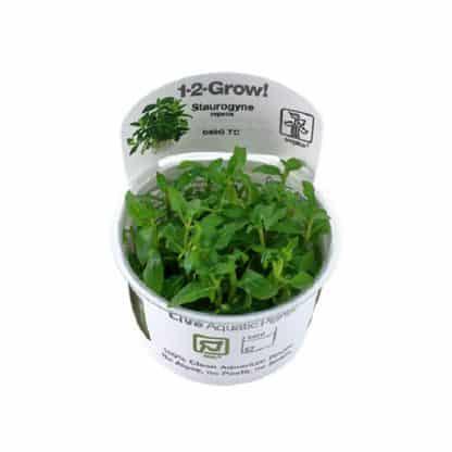 Staurogyne repens 1 -2 Grow