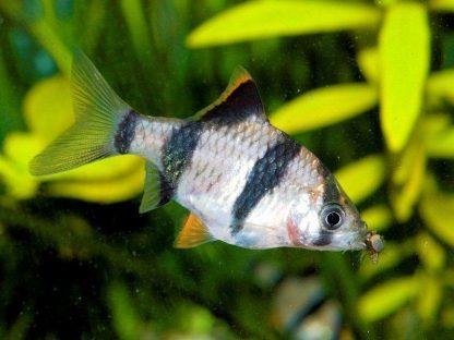 Puntigrus anchisporus – Gold Green Stripe Barb
