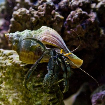 Clibinareus sp