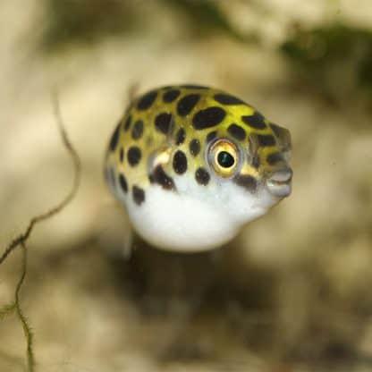Tetraodon fluviatilis – Green Puffer