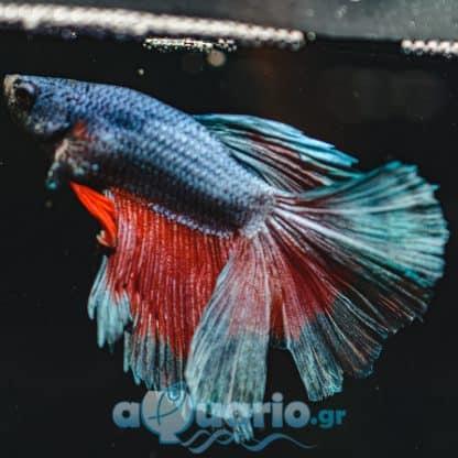Betta spledens – Siamese Fighting Fish Blue Red