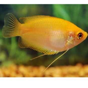 Honey Gourami gold