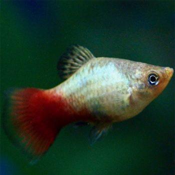 Xiphophorus maculatus rainbow – Platy Rainbow