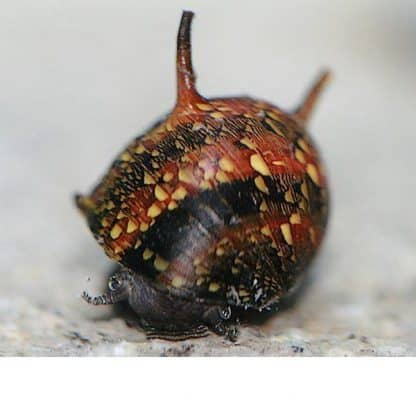 Clithon diadema – Tricolour Nerite Horn Snail