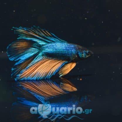 Betta Spledens Blue Gold