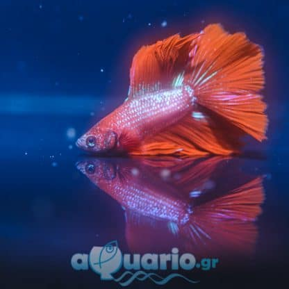 Betta spledens Red Pink