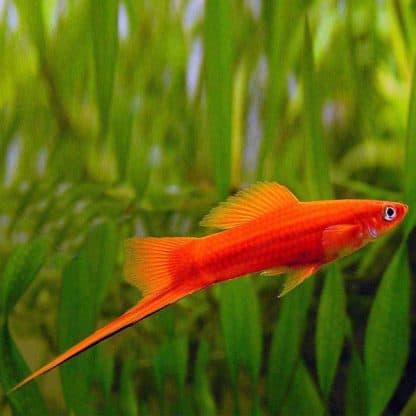 Xiphophorus red lyretail