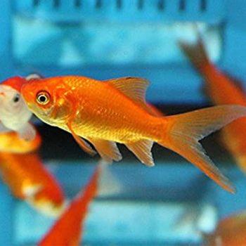 Goldfish Comet