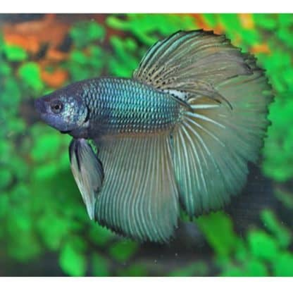 Betta splendens – Siamese Fighting Fish  male XL