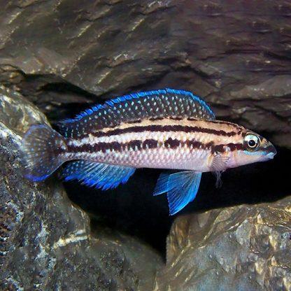 Julidochromis dickfeldi – Dickfeld's Julie