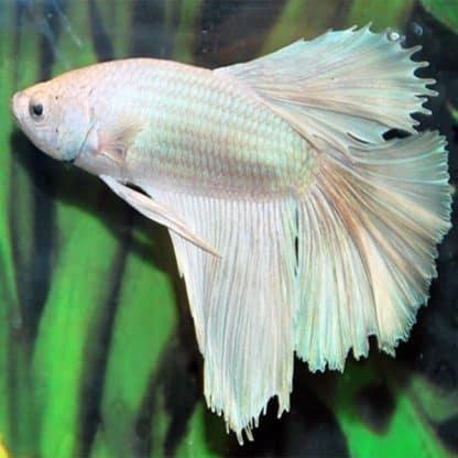 Betta sp. half moon white male
