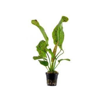 Tropica Echinodorus Ozelot Green