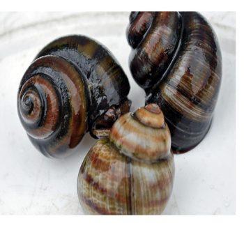 River Snail
