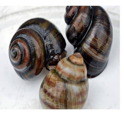 Viviparus viviparus -River Snail