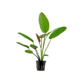 """Tropica Echinodorus """"Barthii"""" Potted"""