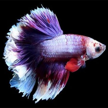 Betta Halfmoon  (Rose tail) – male