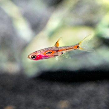 Boraras merah – Phoenix Rasbora
