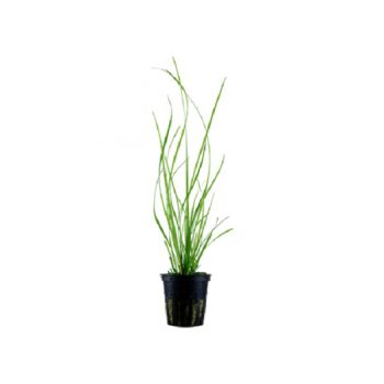 TROPICA Cyperus helferi potted