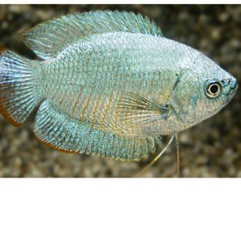 Trichogaster lalius cobalt