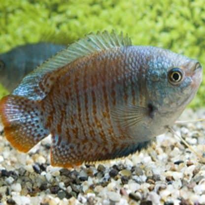 Trichogaster lalius – Dwarf Gourami Neon pair