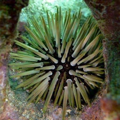 Echinometra mathaei – Rock Urchin