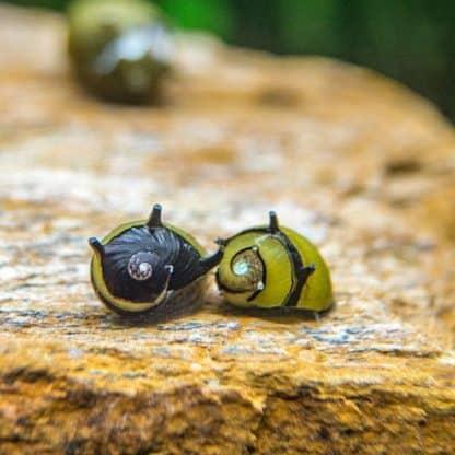 Clithon corona – Green horn snail