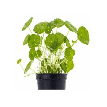 AQUAFLORA Hydrocotyle Verticillata – Pe