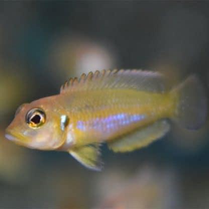 Lamprologus ocelatus gold