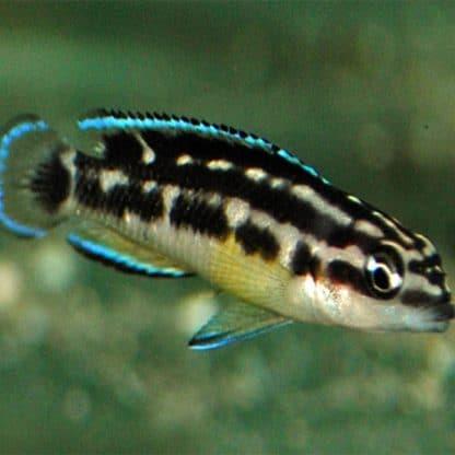Julidochromis transcriptus black – masked julie black